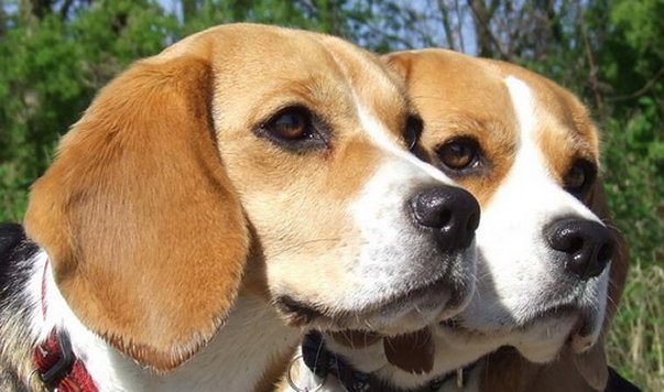 "Beagle Buffy, Alicia vom Kennel ""Charming Heartberakers"""